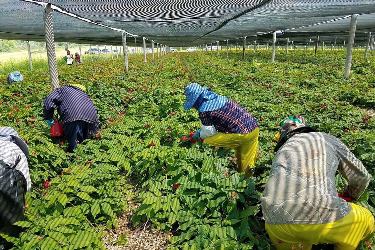 Hmong workers on a Wisconsin ginseng farm. Photo courtesy of Tina Lee