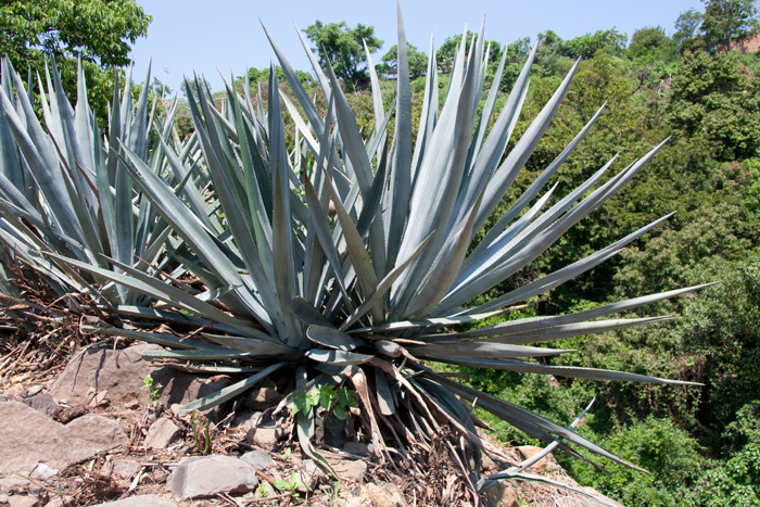 The blue agave plant used in making tequila.