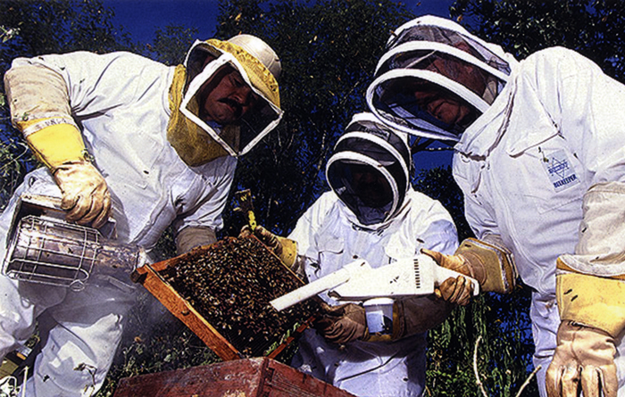 ARS chemist Raul Rivera (left), technician Jesus Maldonado (center), and entomologist William Wilson use smoke and a specially modified hand-held vacuum to collect Africanized honeybees and to study the impact on bees of parasitic mites.