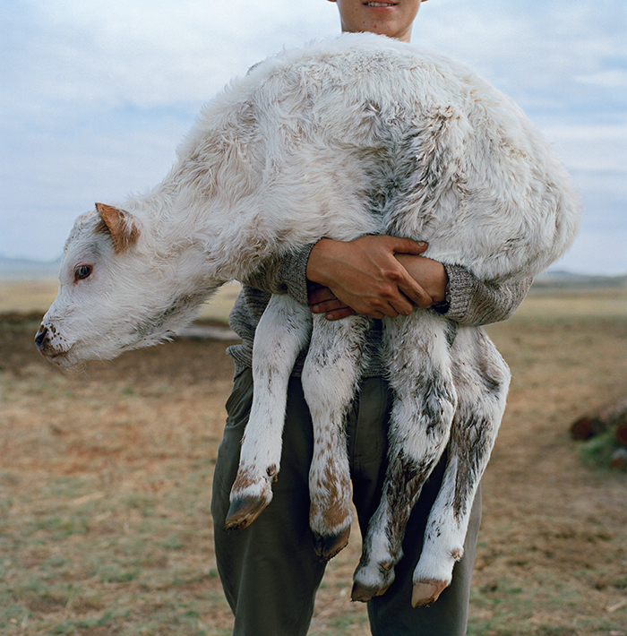 Raising sheep, yaks, and goats on the Siberian steppe is so central to Tuvan life that the vocabulary for livestock is embedded with detailed information about each animal's age, gender, fertility, and coloration.
