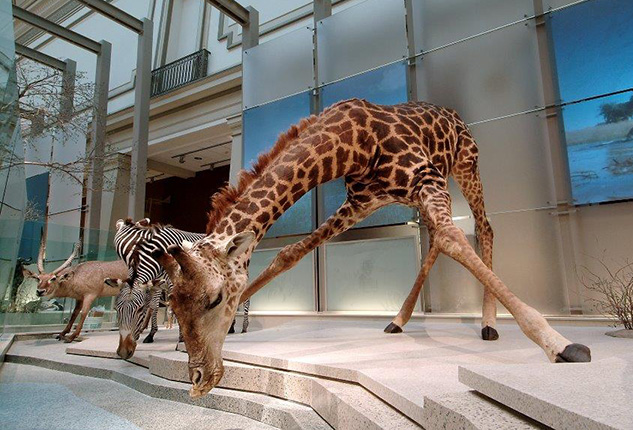 This giraffe is sipping from a model Kenyan wildlife watering hole in the National Museum of Natural History.