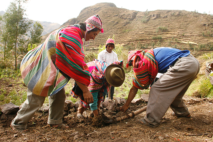 Andean farmers harvest potatoes on their chacra, or family farm.