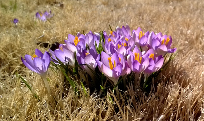 Crocuses are known as some of the earliest flowering plants, with blossoms popping up at the end of winter. Photo by Elisa Hough