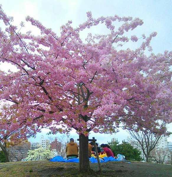 significance of sakura cherry blossom traditions in japan, Natural flower