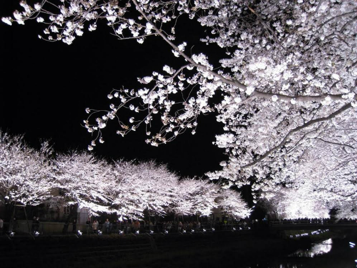 Hanami At Night Is Called Yozakura When The Trees Are Illuminated Photo By Yamaguchi