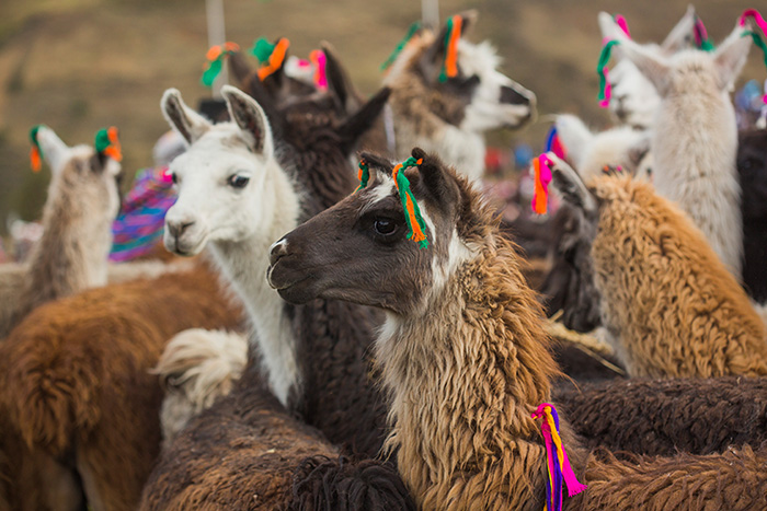 Llamas and alpacas dressed up in colorful earrings. Photo courtesy of PROMPERÚ